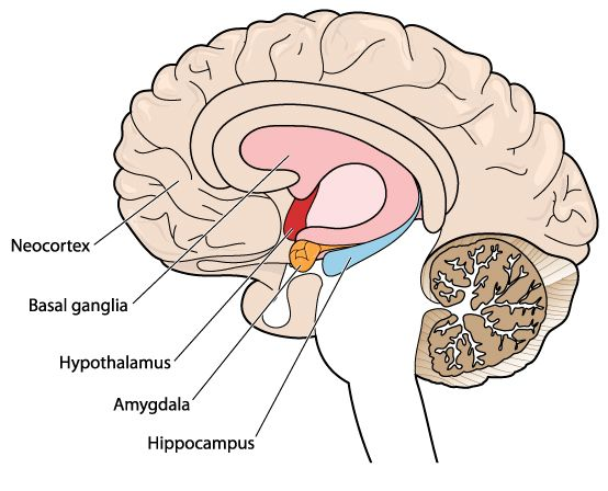 emilie koppius, dieren hersenen