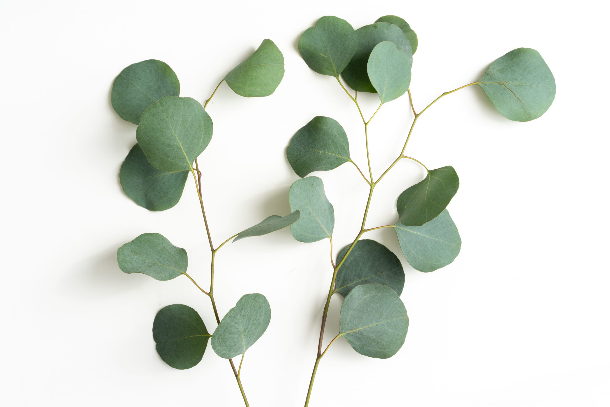 planten eucalyptus