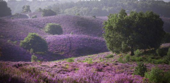 De heide staat in bloei! Op déze 5 wandelroutes bewonder je haar paarse pracht